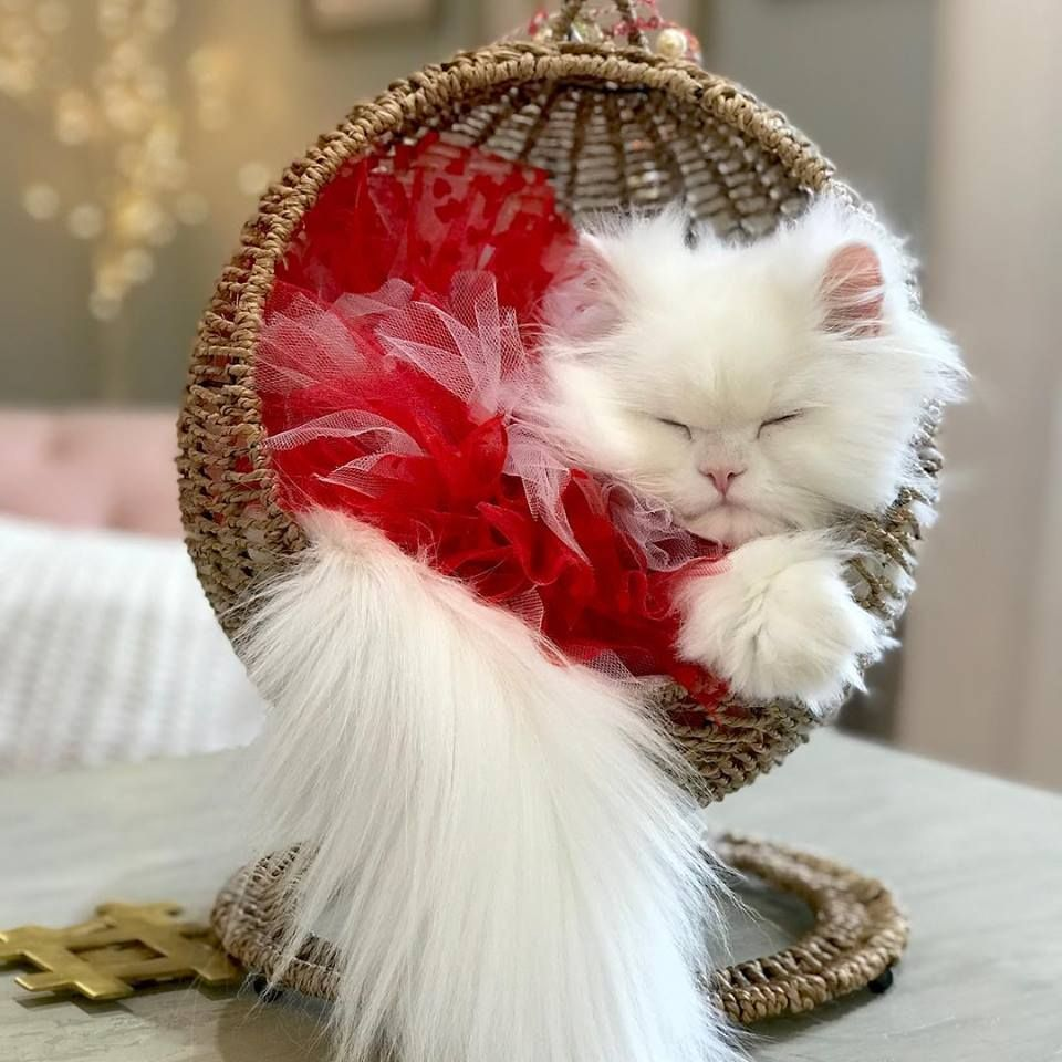 Princess Coco Ready For Valentinesday In Her Beautiful Red Tutu And Pier One Swing Princesscoco Persiancats Prettycat Pretty Cats Persian Cat Baby Kittens