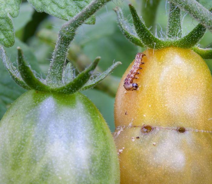 Raupen können Ihren Tomaten eher gefährlich werden, als Blattläuse. Sagen Sie ihnen den Kampf an, aber bitte nicht mit chemischen Schädlingsbekämpfungsmitteln. Wie Sie Schädlinge auf natürliche Weise beseitigen können, zeigt Ihnen unser Artikel «So bekämpfen Sie Schädlinge im Biogarten mit natürlichen Mitteln». Neben Insekten können auch Pilze wie zum Beispiel die Krautfäule Ihren Tomaten schaden. Ab Juni besteht die Gefahr, dass sich Sporen dieser Pilzkrankheit durch den Wind verbreiten…