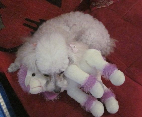 """Fifi """"Poodle in Paradise"""" snuggling with her lavender poodle"""