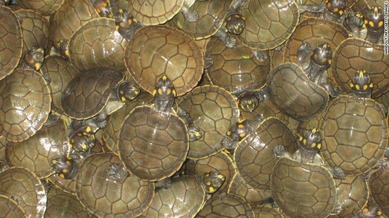 500 000 Baby Turtles To Be Released Into The Wild Baby Turtles