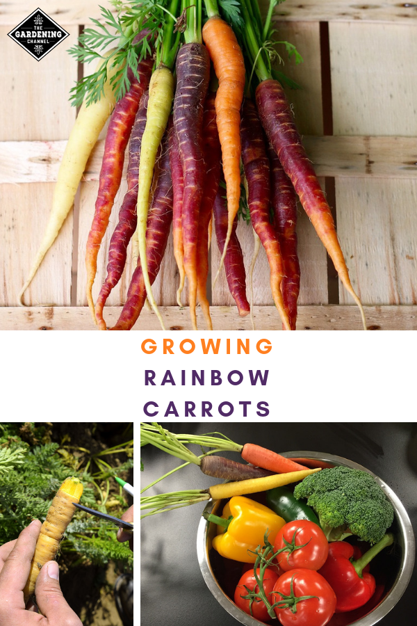 Growing Rainbow Carrots Health Benefits And Varieties By Color Red Purple Yellow White Rainbow Carrots Growing Carrots Carrots