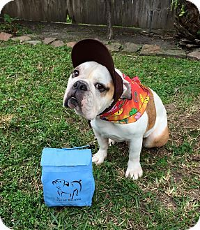 Houston, TX - English Bulldog. Meet Gus, a dog for adoption. http://www.adoptapet.com/pet/12437950-houston-texas-english-bulldog