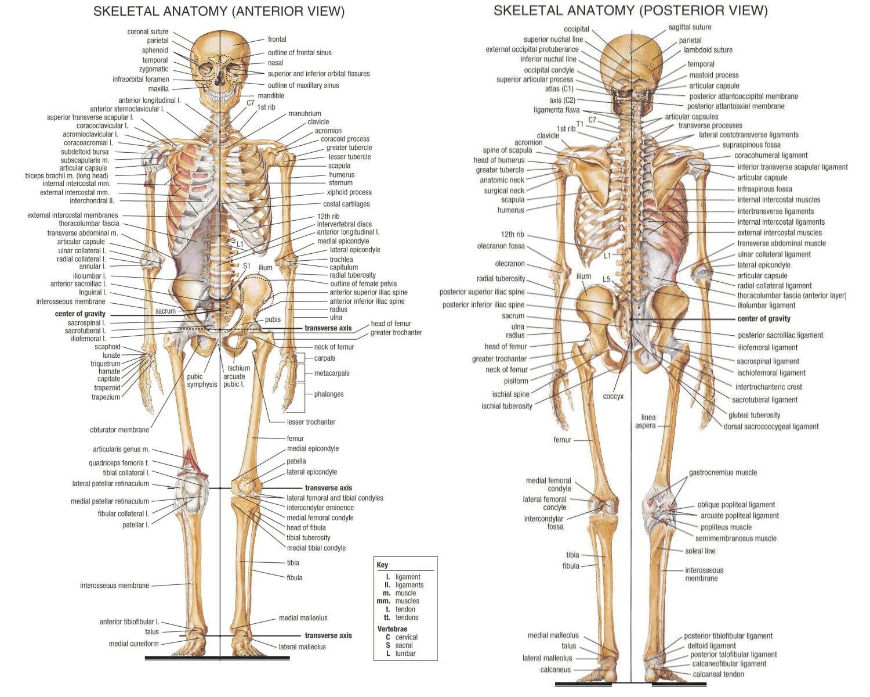 Human Bones Chart Human Anatomyg Jpeg Image 1500 1200 Pixels