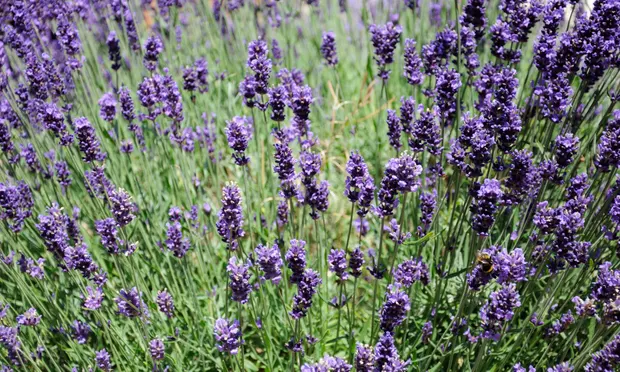 It's time to prune those woody herbs Planting lavendar