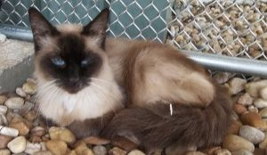 Adopt Ms Priss On Siamese Cats Pet Finder Cats
