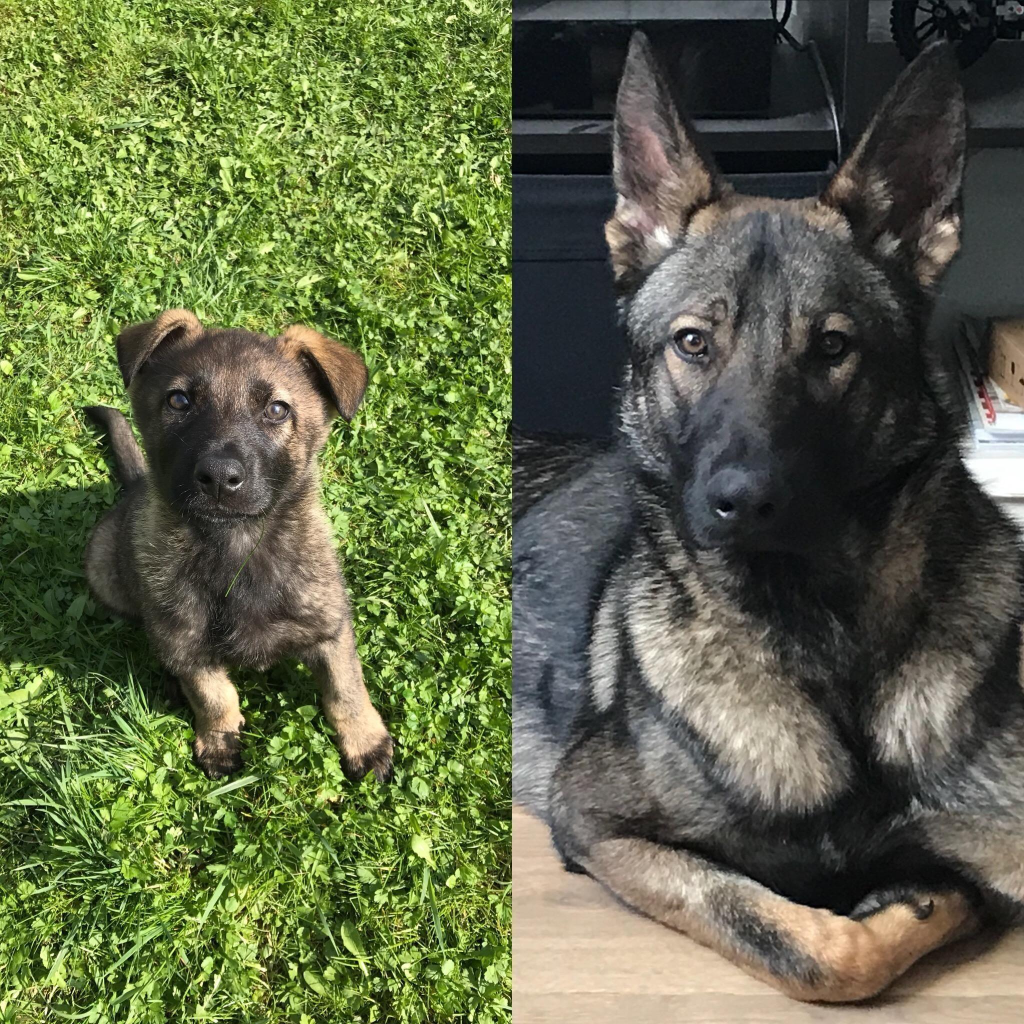 Storyful Hund Nachos 8 Wochen Vs 1 Jahr Arbeitslinie