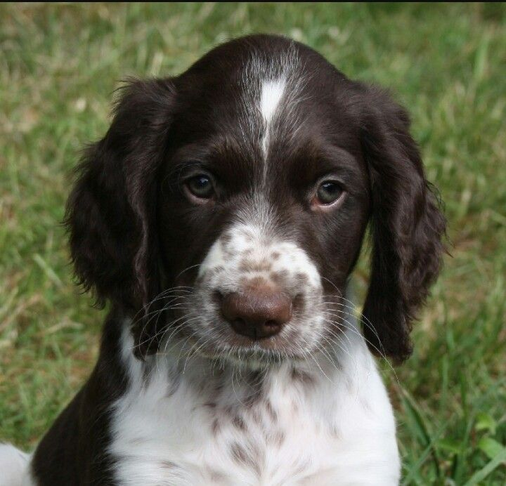 Puppy Franse Spaniel With Images Springer Spaniel English Springer Spaniel Field Spaniel