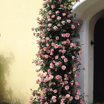 Climbing Zephirine Thornless Rose Climbs To 8 Ft Does Well In Shady Alkaline Soil Idea Grow Up An Arbor Around Gate Backyard