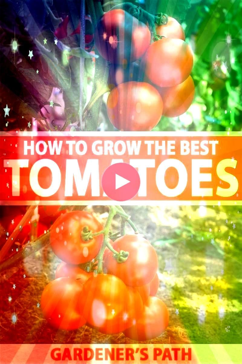love juicy tomatoes that are full of that homegrown flavor that store bought ones cant match Learn the start plant grow and harvest your own with this detailed guide from...