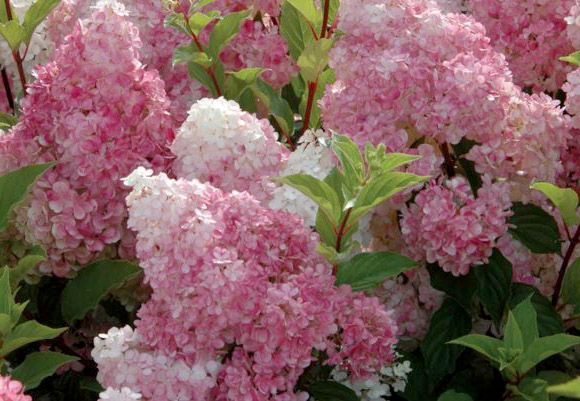 hydrangea paniculata vanille fraise garden pinterest. Black Bedroom Furniture Sets. Home Design Ideas