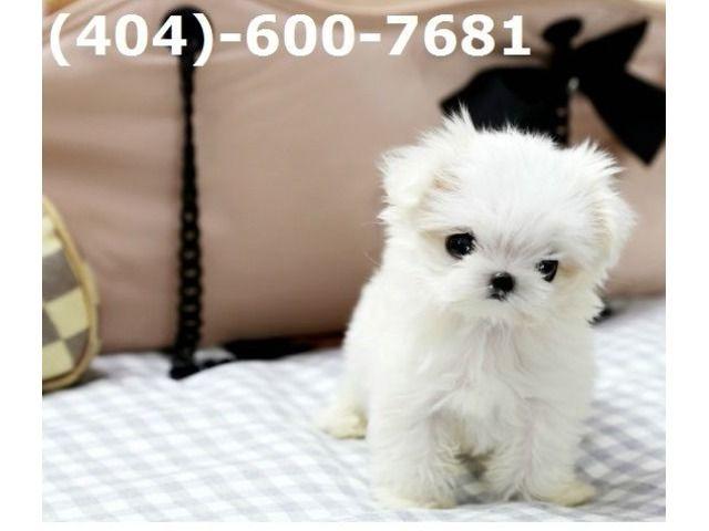 HomeRaisedTeacupMaltesePuppies Call/Text(404)600-7681