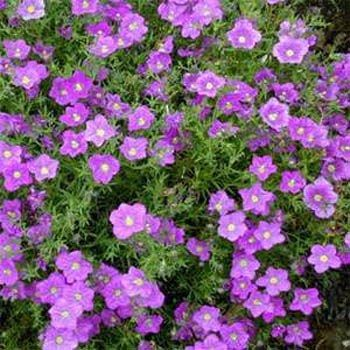 Nierembergia Hippomanica Purple Robe Also Called Cup Flower This Ground Cover Seedsground Plantscontainer
