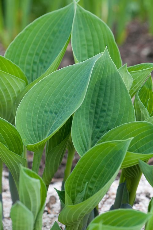 Hosta Cut Back Faded Flower Stems And Leaves To Near Ground Level