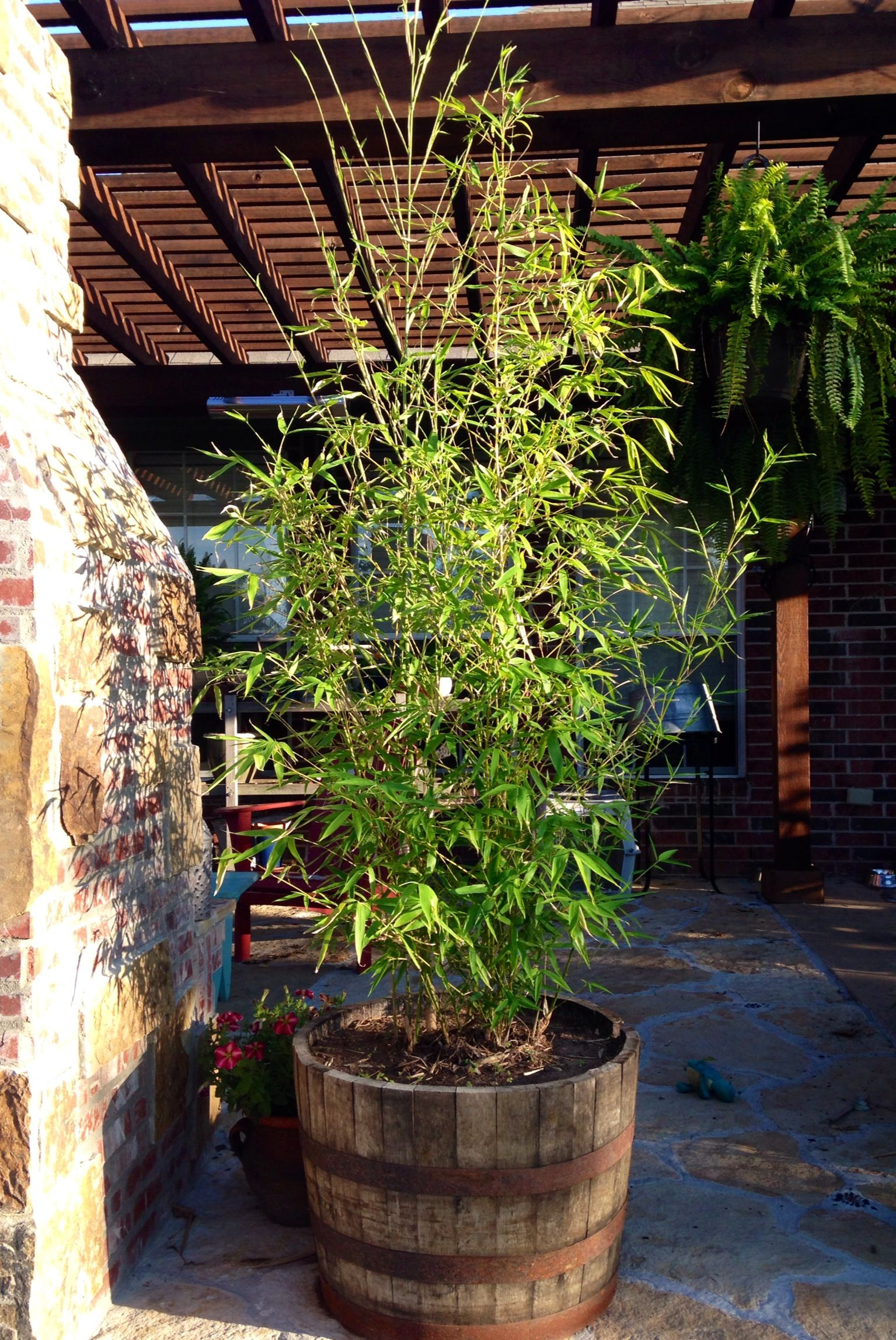 Golden Bamboo In A Whiskey Barrel Using For Privacy On