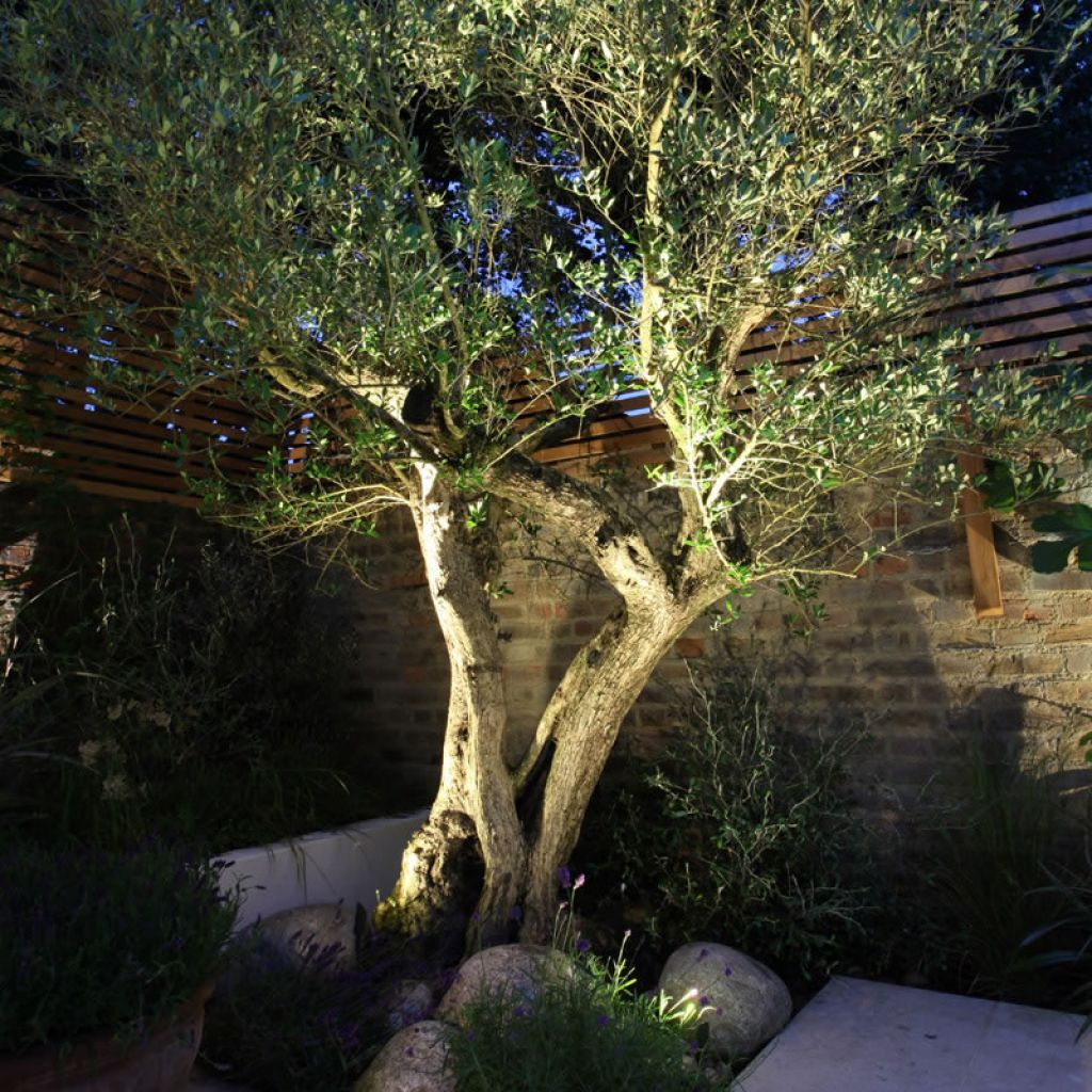 Outdoor Garden With Olive Tree And Rocks