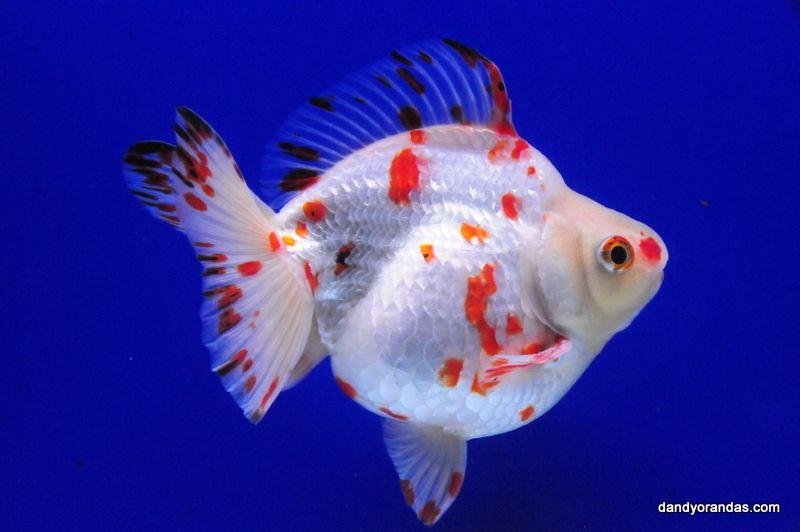 White Red Short Tail Ryukin Dandyorandas Com Pet Goldfish