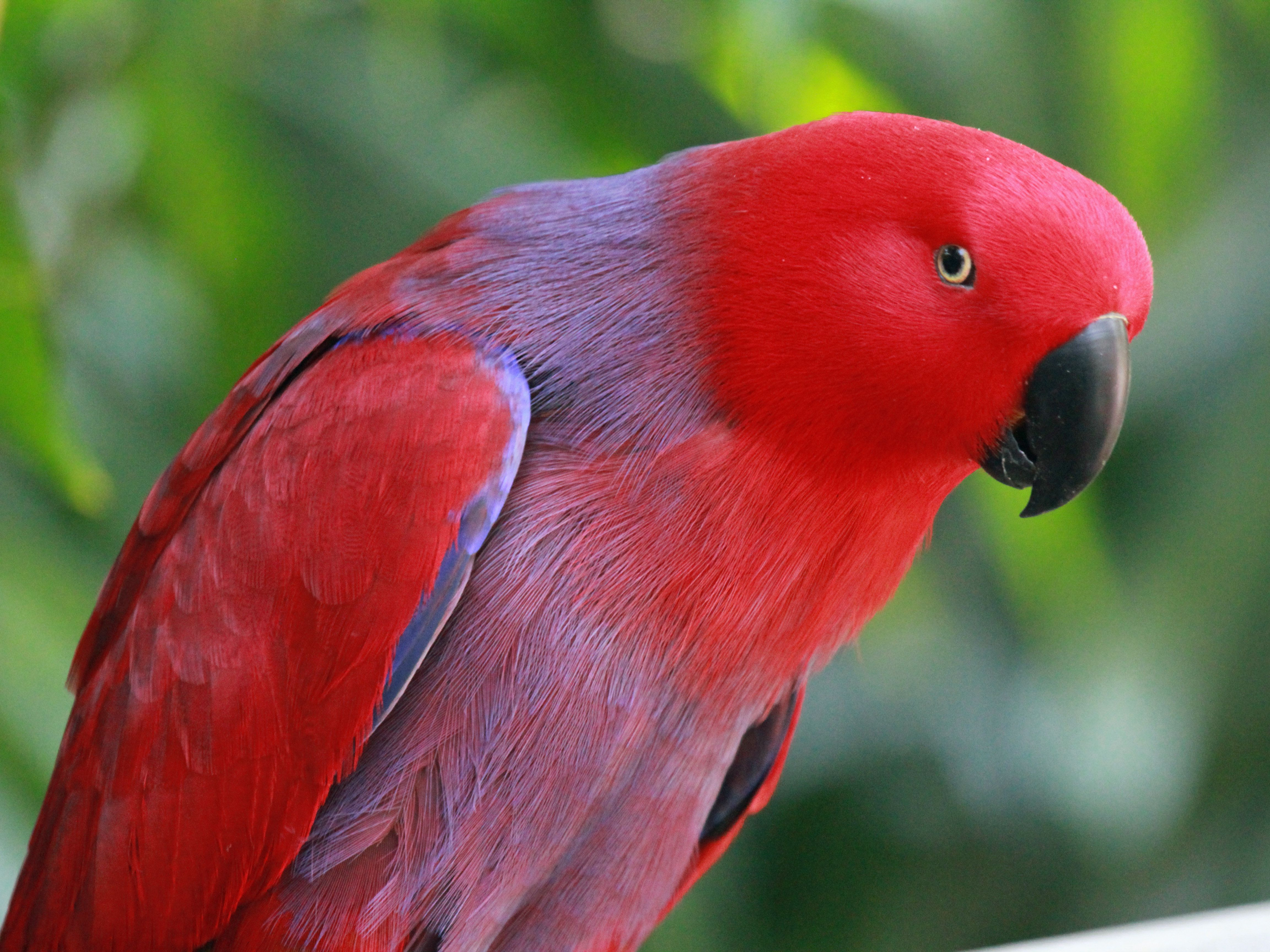 Red eclectus parrot hd wallpaper animals wallpapers pinterest red eclectus parrot hd wallpaper voltagebd Images