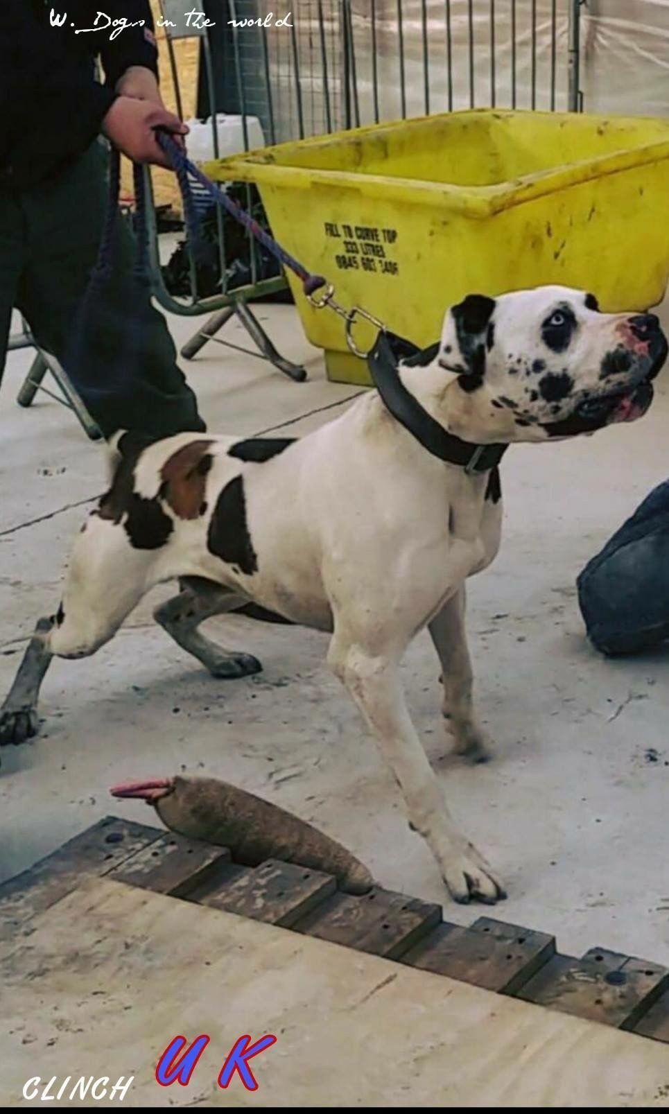 3 4 Bully Kutta 1 4 Great Dane Mastiffpuppies Massive Dogs