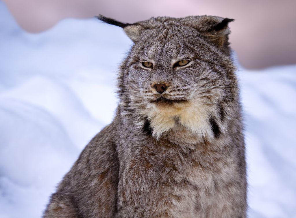 Canadian Lynx Lynx Du Canada Canada Lynx Cats Lynx