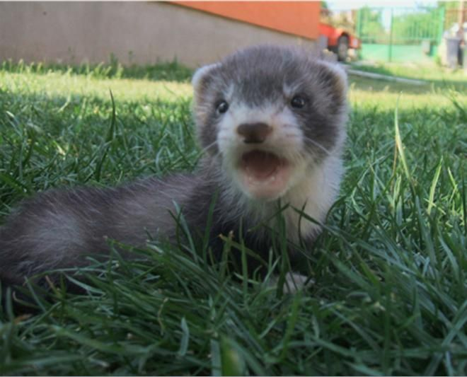 Any Love For A Baby Ferret Baby Ferrets Baby Animals Cute Ferrets