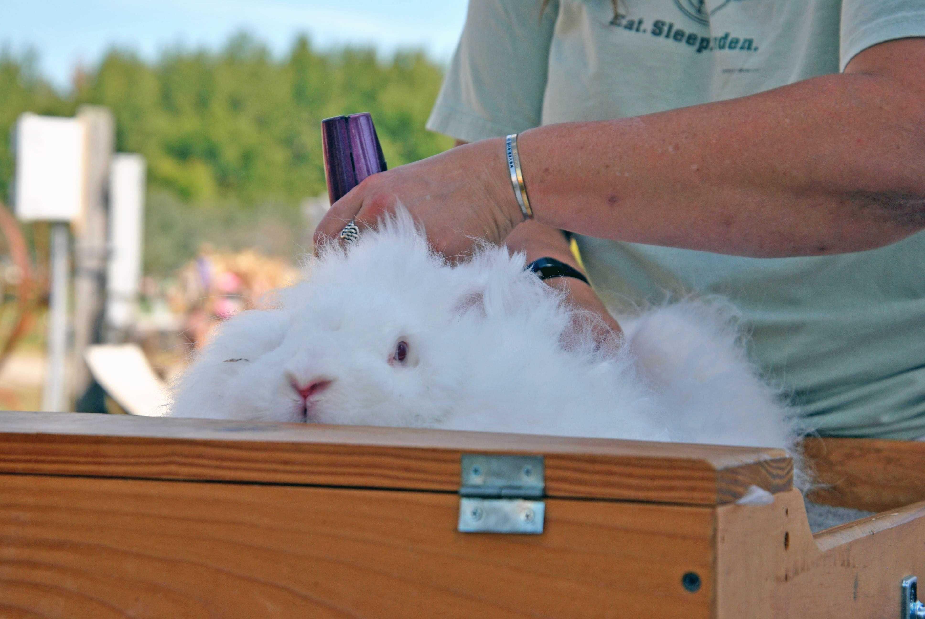 The basics of shearing an Angora rabbit Bangor Daily