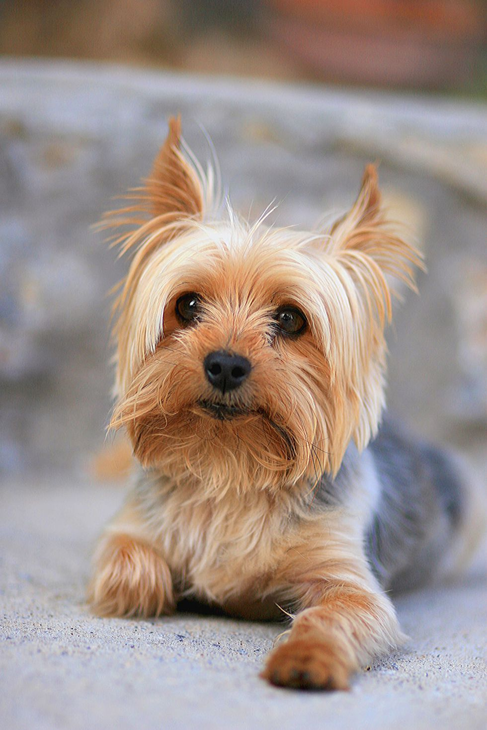 Just 43 Pictures of Sweet and Fluffy Small Dog Breeds You