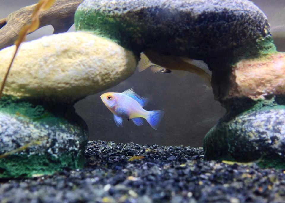 Female Gold Powder Blue Ram German Gold Ram X Electric Blue Ram Hybrid Also Known As Gold Headed Blue Ram Zeus Or Electric Blue Ram Aquarium Fish Cichlids