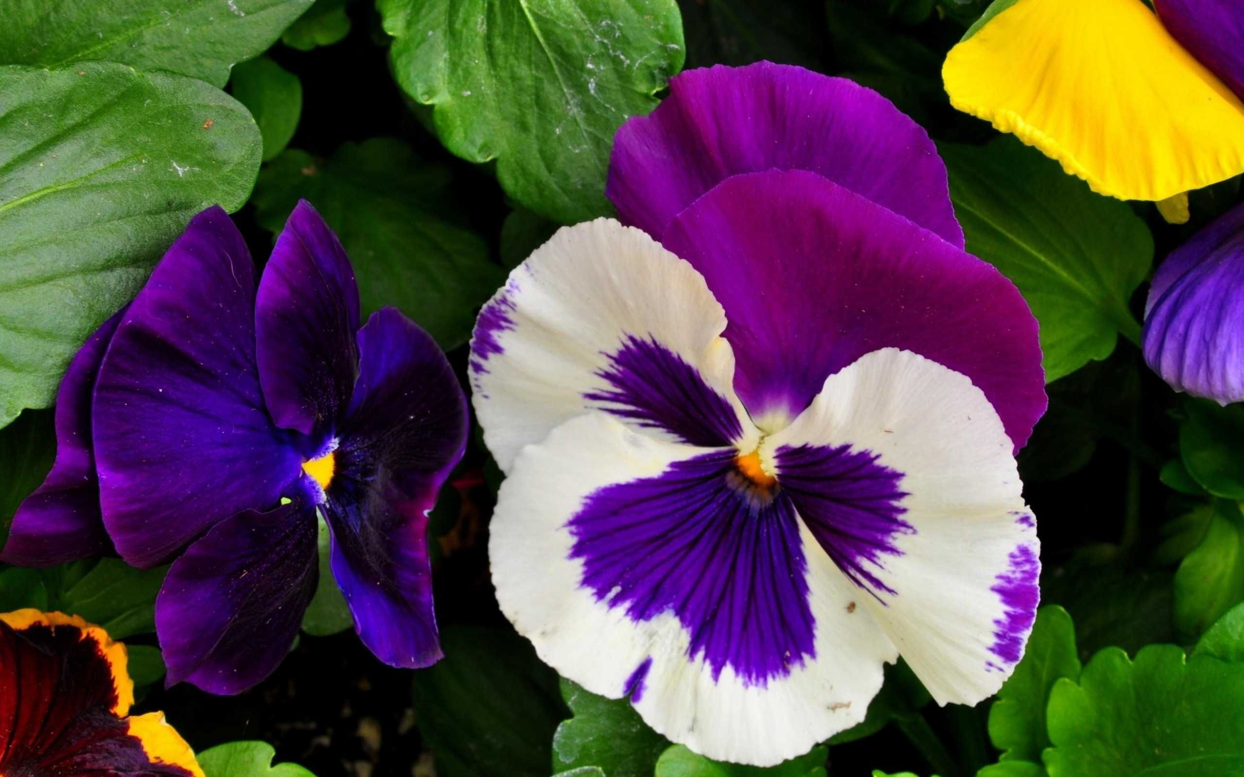 Pansy Flower Yahoo Image Search Results Pansies Flowers Pansies Flowers