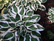Hosta Minuteman Stunning variegated Hosta for the shade garden! As low as $12.95