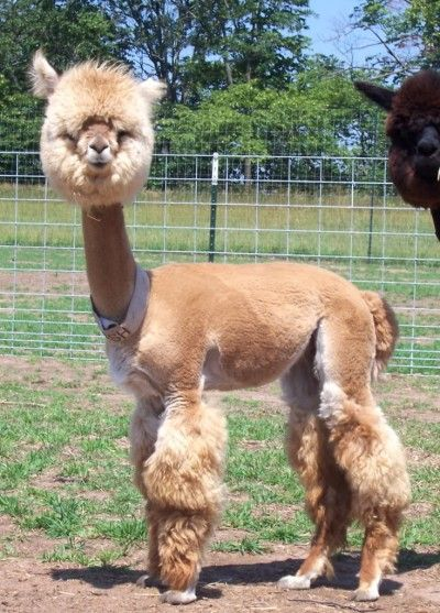 I Bet Hes Thinking Why In The Heck Did They Do This To Me - 22 hilarious alpaca hairstyles