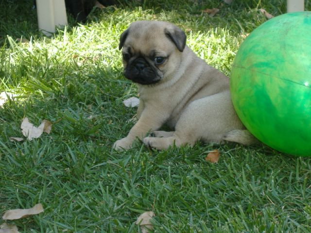 Pug Puppies For Sale Perth Zoe Fans Blog