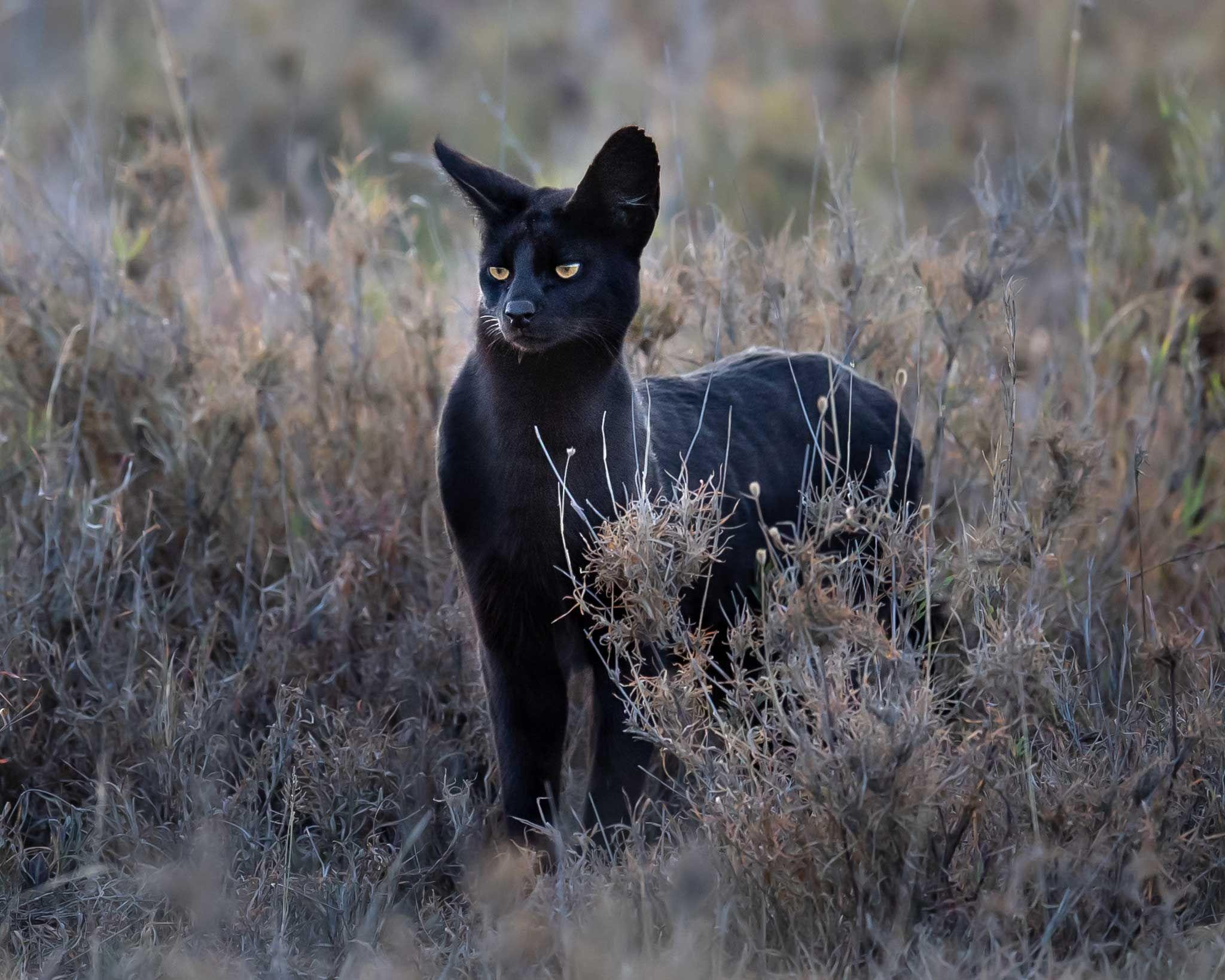 Melanistic Serval At Namiri Plains Travel Africa Magazine Melanistic Serval Cat Serval Cats Melanistic Serval