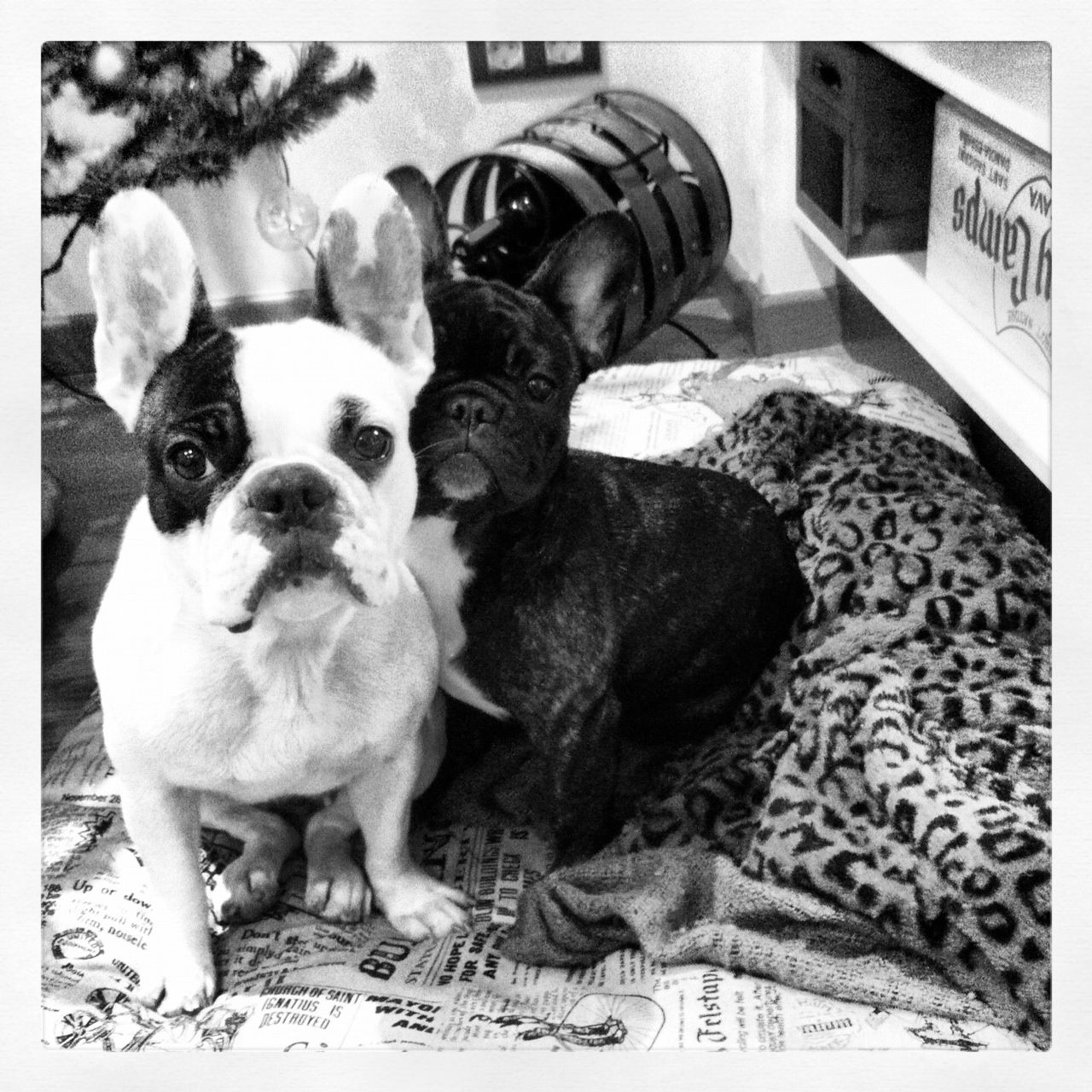 Frenchie French Bulldog Buhi Bulldog Frances Brindle Puppy Pied Frenchies See