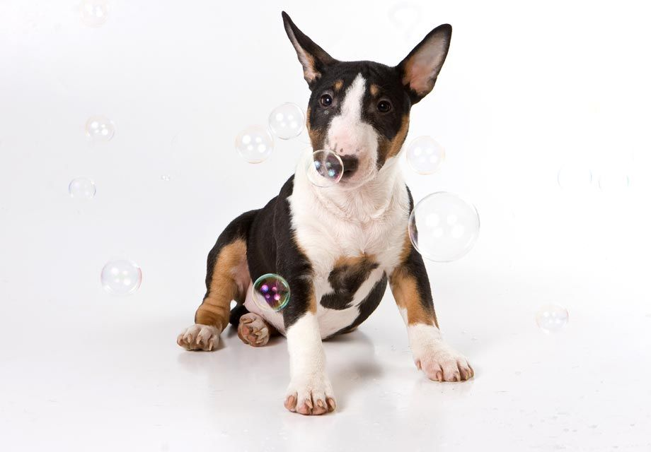 55 Bull Terrier Puppies Ohio In 2020 Bull Terrier Bull Terrier Puppy Pitbull Terrier