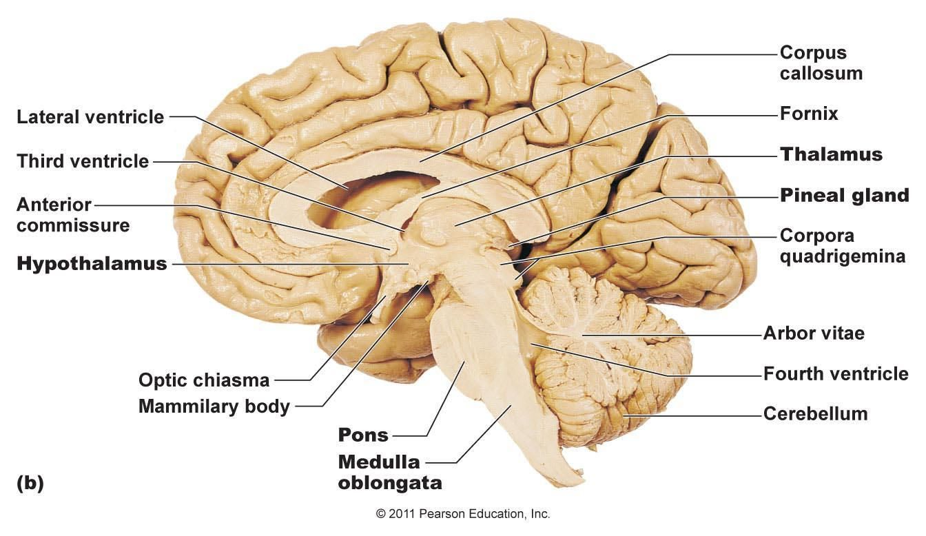 In the brain, the corpora quadrigemina (Latin for \