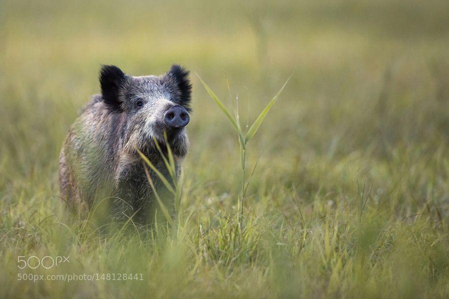 Wild boar in the grass by gibsy1 via http://ift.tt/1NaHKdI