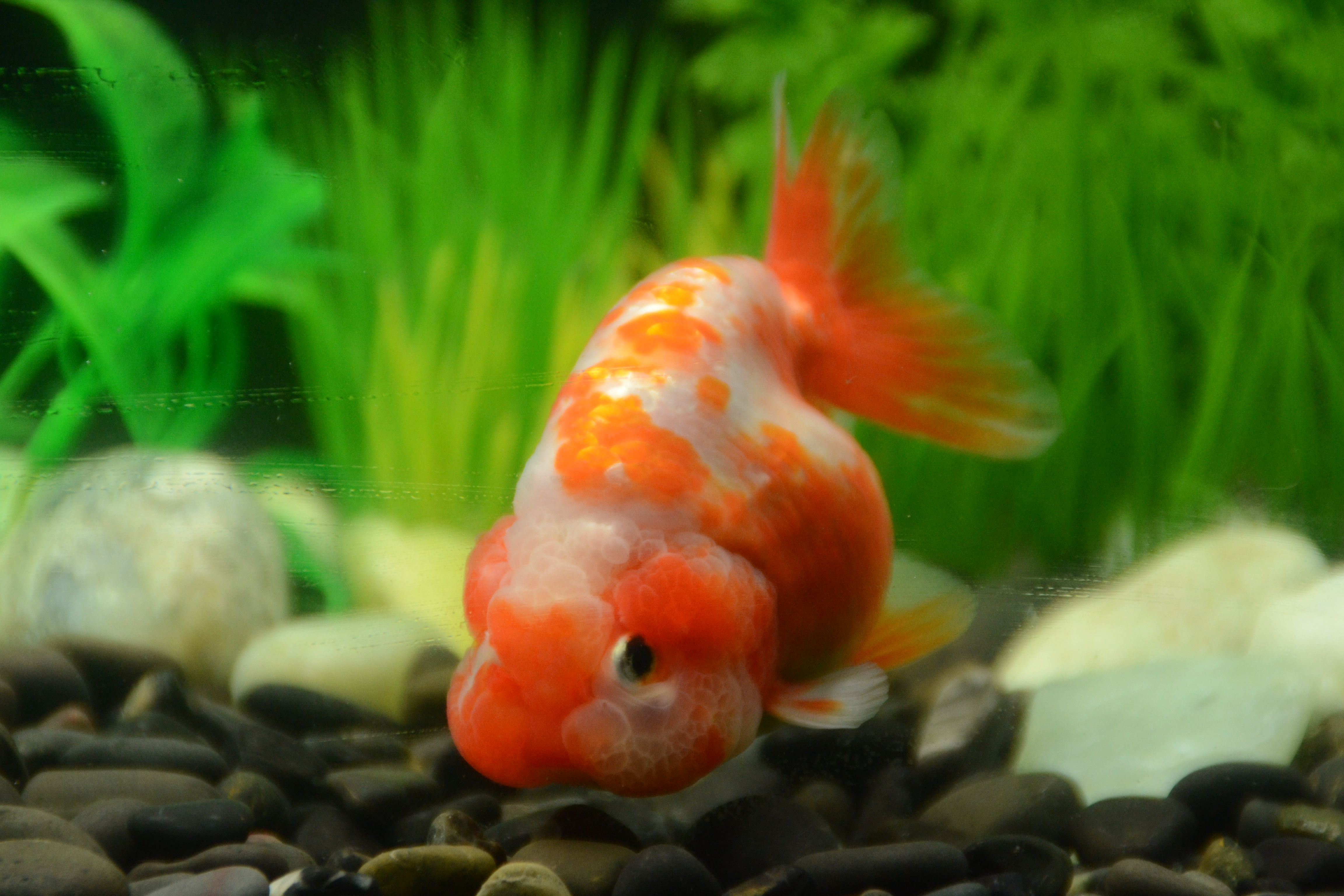 Orange And White Ranchu Goldfish Buygoldfishonline Com Goldfish Buy Goldfish Oranda Goldfish
