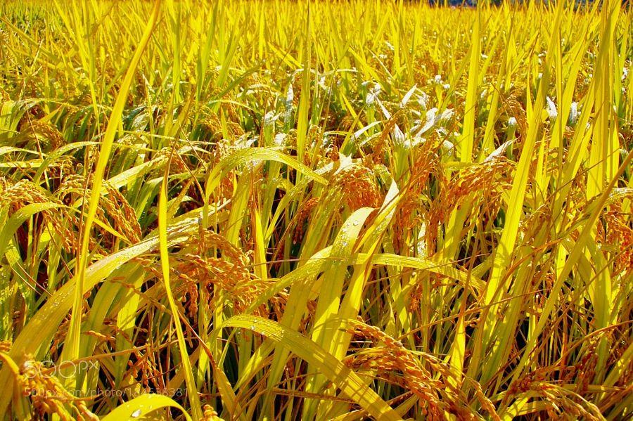 Ripe Rice Plants Growing In Fields Before Harvest By Kchangleek