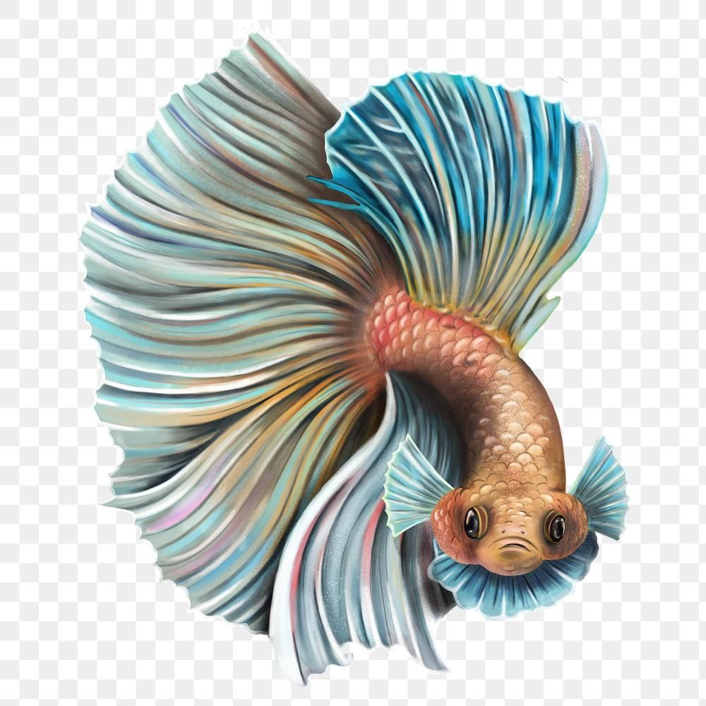 Download Premium Png Of Angry Betta Fish Flaring Design Element 2330775 Betta Fish Betta Design Element