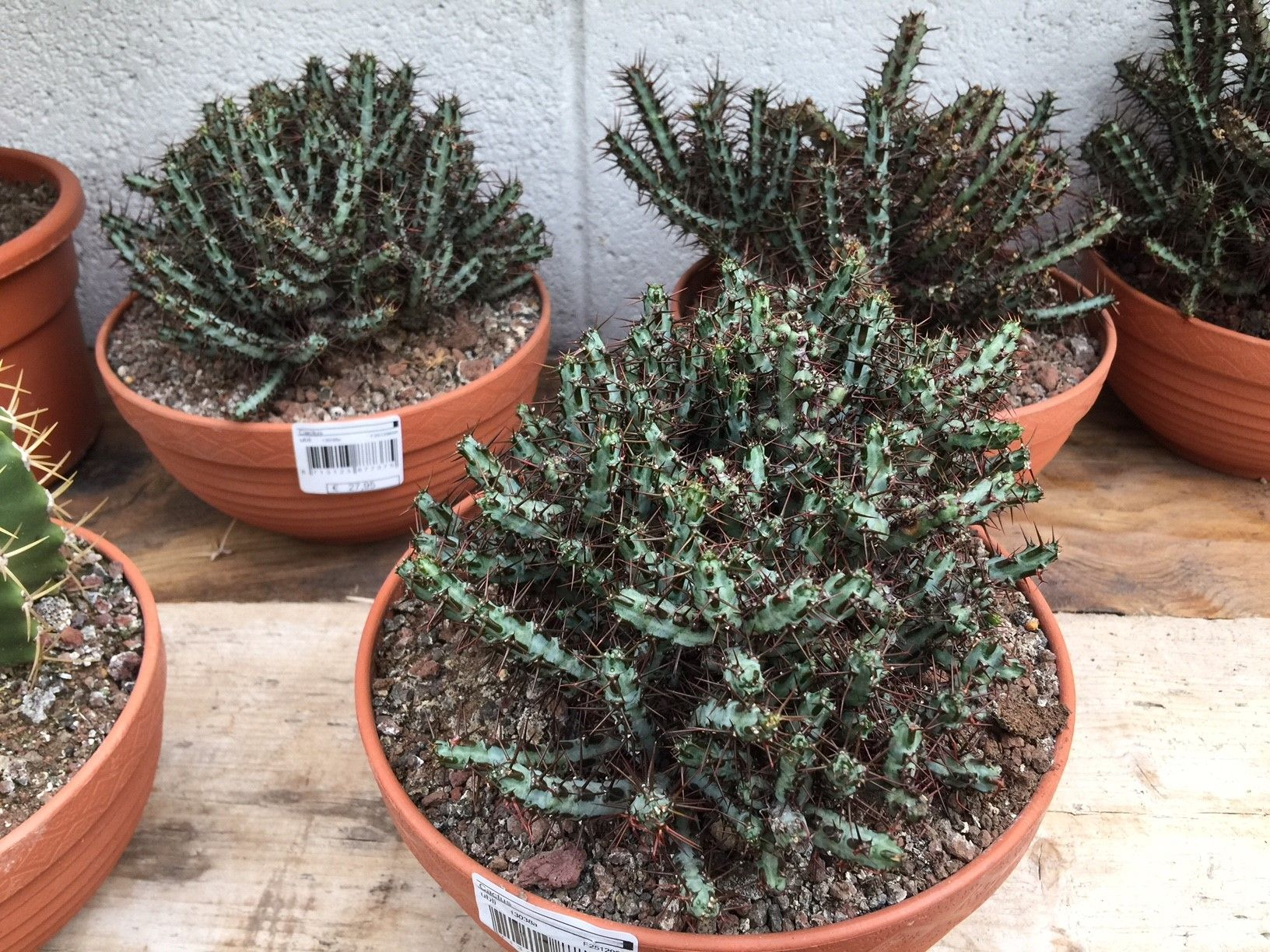 Euphorbia Aeruginosa Succulent Succulentlove Houseplants
