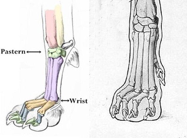 High Toes Dog Skeleton Animal Skeletons Dog Paws