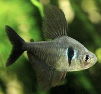 Black Phantom Tetra Aquarium Fish Tropical Fish Aquarium Saltwater Aquarium Fish