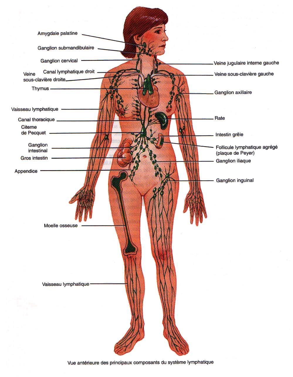 Le syst me lymphatique pinterest les amygdales les rats et le vaisseau - Sensation de froid interieur du corps ...
