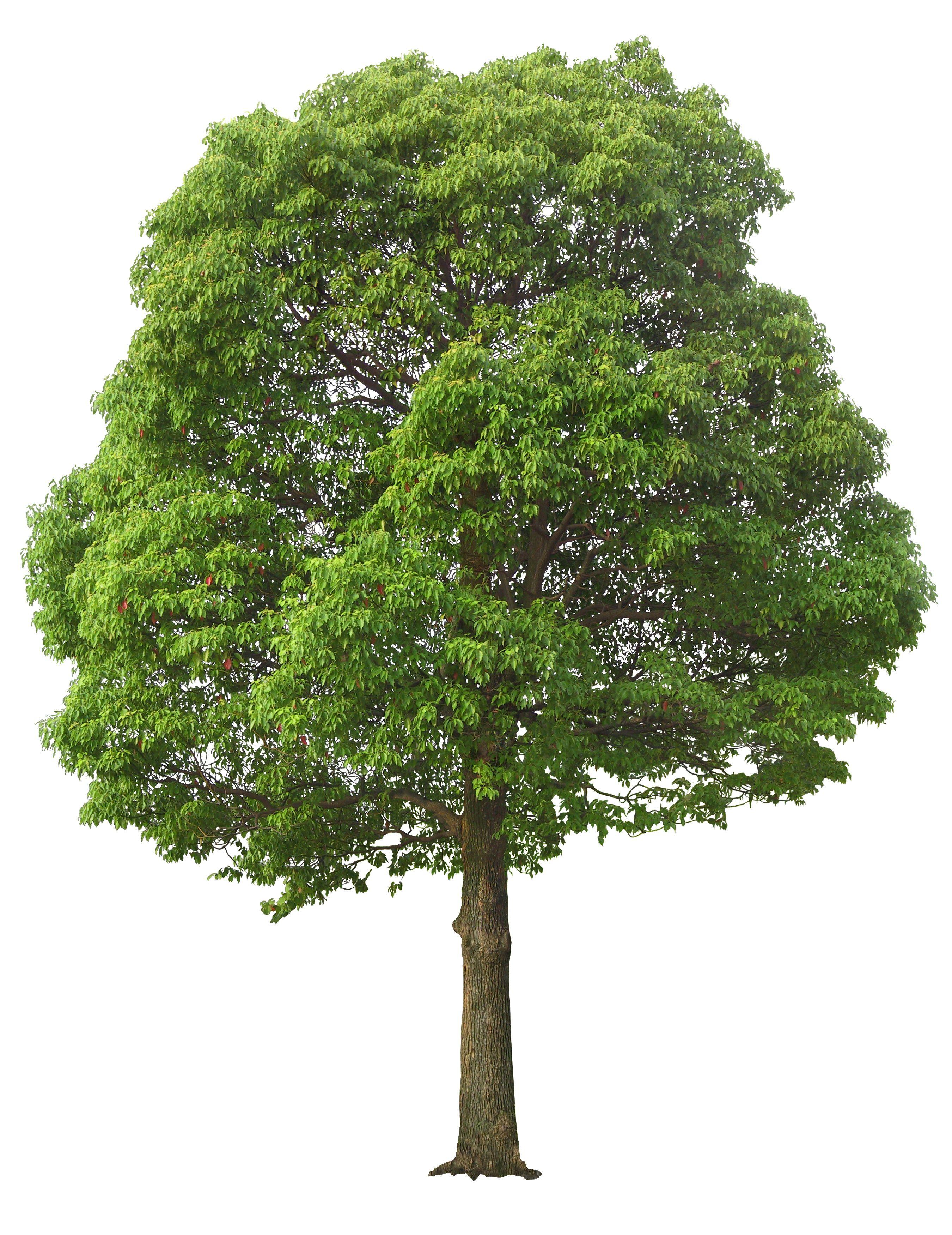 Tree Psd Tree Photoshop Tree Graphic Street