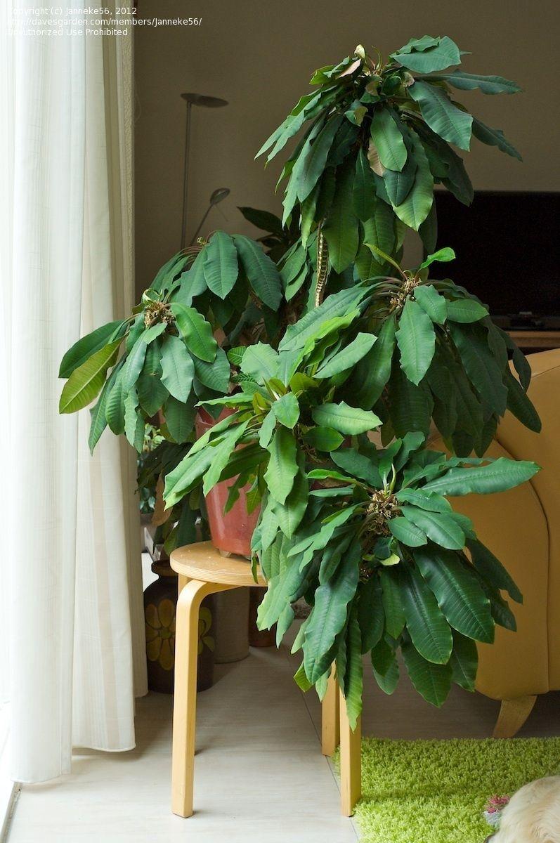 Full size picture of Madagascar Jewel ( Euphorbia
