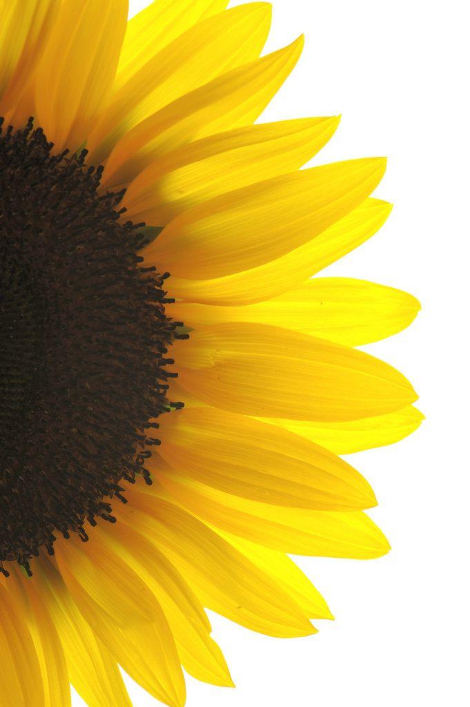 Sunflower Wallpaper Backgrounds Beautiful