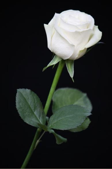 Arti Warna Pada Bunga Mawar Bunga Mawar Mawar Cantik