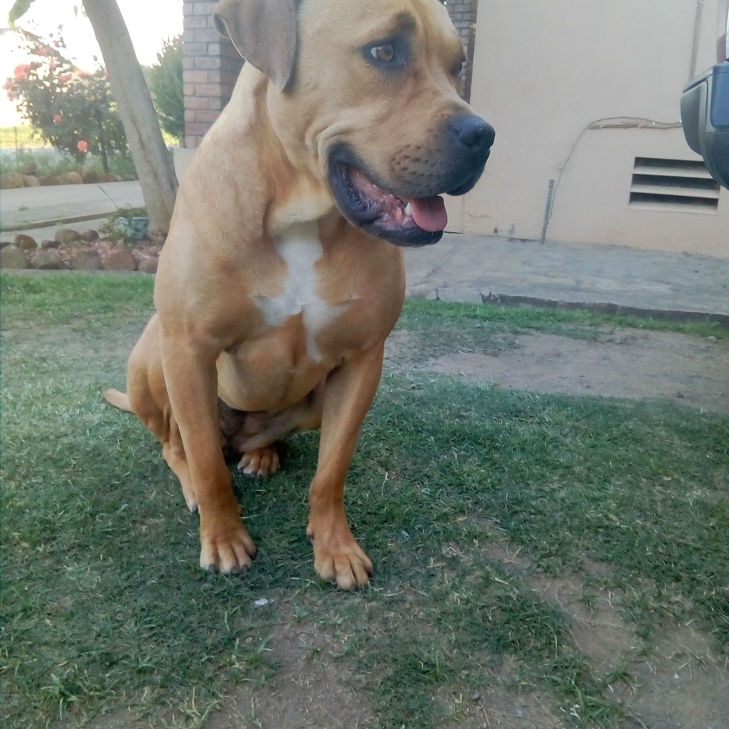 Bailey My Female Pitbull X Boerboel X Staffie Female Pitbull Boerboel Pitbulls