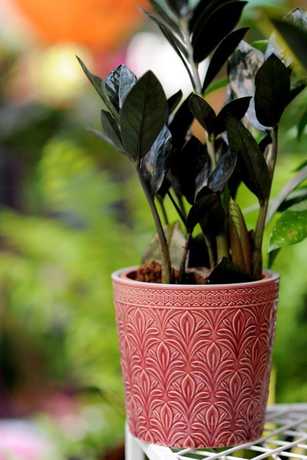 Zamioculcas Zamiifolia Raven Roslina Do Zacienionego Kata Planter Pots Planters Pot