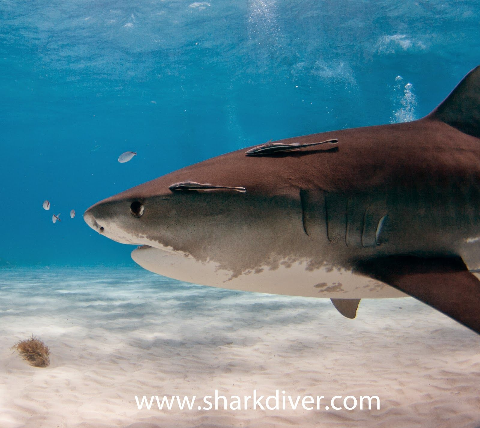Shark Diver : Shark Diving : Swimming With Sharks: What's